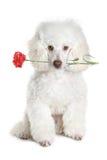 röd white för blommapoodlevalp Arkivbilder