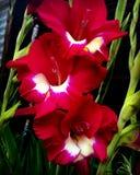 röd white för gladiolus arkivbilder