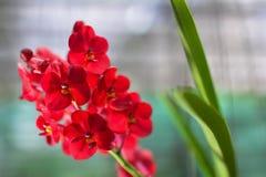 röd white för isoleringsorchid Fotografering för Bildbyråer