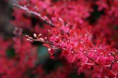 röd white för isoleringsorchid royaltyfria bilder