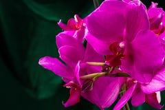 röd white för isoleringsorchid Arkivbild