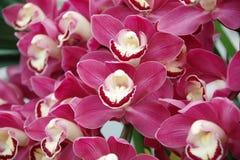 röd white för isoleringsorchid Arkivfoto