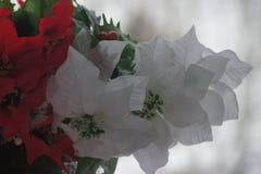 röd white för julstjärnor Royaltyfria Foton