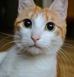 röd white för katt royaltyfri fotografi