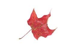 röd white för leaf Arkivbild