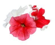 röd white för petunia royaltyfria bilder