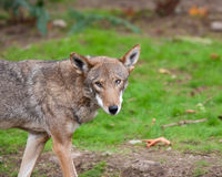 röd wolf Royaltyfri Foto