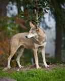 röd wolf Royaltyfri Fotografi