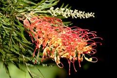 röd yellow för blommagrevillea Arkivbild