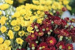 röd yellow för chrysanthemum royaltyfria foton
