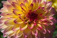 röd yellow för dahlia Fotografering för Bildbyråer