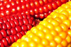 röd yellow för havre Royaltyfri Bild
