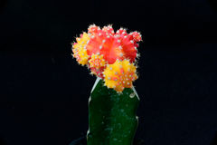 röd yellow för kaktus Royaltyfri Foto