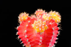 röd yellow för kaktus Arkivfoton