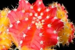 röd yellow för kaktus Royaltyfria Bilder