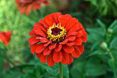 röd zinnia Fotografering för Bildbyråer