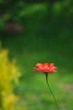 röd zinnia Royaltyfria Bilder