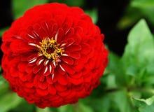 Röd zinnia i trädgården Arkivfoton