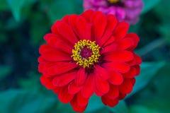Röd zinnia med den gula pistillcloseupen Royaltyfria Bilder