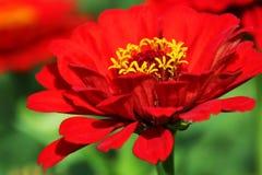 Röd zinniablomma i en frodig trädgård arkivbild