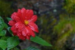 Röd Zinniablomma i trädgården Royaltyfri Fotografi