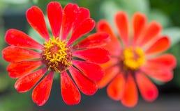 Röd Zinniablomma i trädgården Fotografering för Bildbyråer