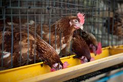 Röda ägghönor i lagerbur Royaltyfria Bilder