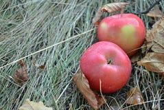 Röda äpplen är på det torra gräset bland de stupade höstsidorna, stället för din text Royaltyfri Bild