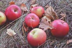 Röda äpplen är på det torra gräset bland de stupade höstsidorna, tappningfärger Arkivfoton