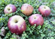 Röda äpplen över gräs arkivbilder