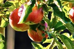 röda äpplen Royaltyfri Bild