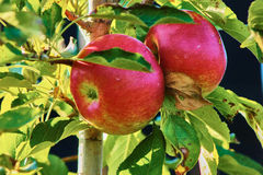 2 röda äpplen Arkivbilder