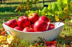 Röda äpplen för ny läcker höst Fotografering för Bildbyråer