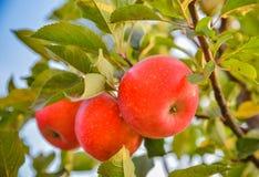 Röda äpplen hänger på Apple-träd filialer i en trädgård arkivbild