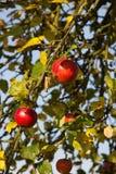 Röda äpplen i den sena sommaren Royaltyfria Bilder