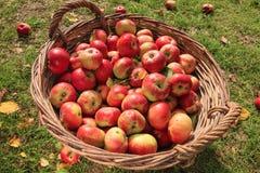 Röda äpplen i en korg Arkivfoto