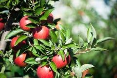 Röda äpplen i en lantgårds äpplefruktträdgård Arkivfoton