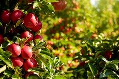 Röda äpplen i fruktträdgården royaltyfri foto