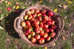 Röda äpplen i gammal korg Arkivfoton