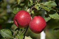 Röda äpplen i japansk fruktträdgård Royaltyfria Bilder