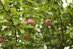 Röda äpplen i regnet Royaltyfria Bilder