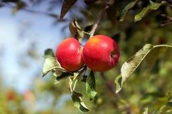 Röda äpplen i trädgården royaltyfria bilder