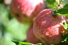 Röda äpplen med vatten tappar på äppleträd Arkivbilder