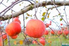 Röda äpplen på äppleträdfilial i authumn Fotografering för Bildbyråer