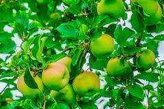 Röda äpplen på äppleträdfilial i fruktträdgården New York arkivfoto