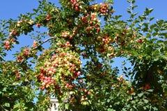 Röda äpplen på äppleträdfilial och att arbeta i trädgården och att skörda royaltyfria foton
