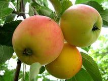 Röda äpplen på en filial Royaltyfri Foto