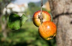 Röda äpplen på en filial av äppleträdet på en solig dag Organiskt lantbruk/jordbruk Fotografering för Bildbyråer