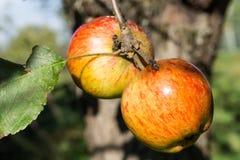 Röda äpplen på en filial av äppleträdet på en solig dag Organiskt lantbruk/jordbruk Royaltyfri Bild