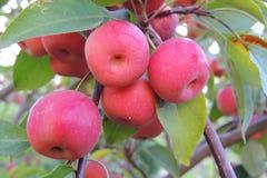 röda äpplen på en trädfilial i en trädgårds- närbild Arkivfoton